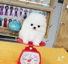 teacup pomeranian puppies for sale $250 | Zoe Fans Blog