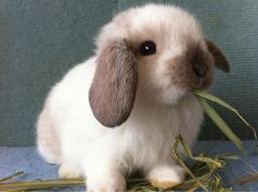 Broken Sable Point Holland Lop Bunny