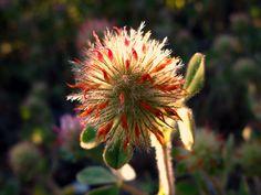 Pie de liebre * Trifolium arvense