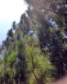 having a friday memories  #pines #pinetrees #green #pineslovers #awesome #ontheroad #bright #bluesky #beautifulscenery #beautifulsunnyfriday #explorenature #exploreeverything #naturelovers #nature #noedit #nofilter #noon #friday #freshair #favoritepicture #randompics #journey #ourjourney #vacation #travelers #traveling #magnificent #happiness #happyday #withmybestie by meymey.wydia