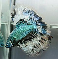AquaBid.com -  HM GREEN BLACK SAMURAI