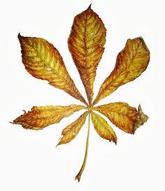 Horsechestnut Leaf Autumn