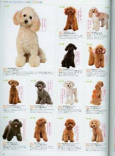 Post with 18684 views. Dog Grooming Styles, Dog Grooming Shop, Poodle Grooming, Dog Grooming Business, Goldendoodle Grooming, Yorkie, Standard Goldendoodle, Standard Poodles, Cortes Poodle