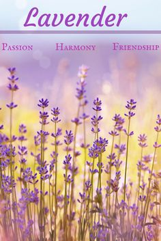 Lavender  is the number one romantic herb. It is a complete package; a plant that is delicious to smell, taste, feel and see. It is said to promote passion, harmony, friendship and cooperation with a lover, probably because its key action is as a carminative that acts on the nervous system.