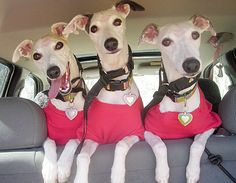 The three whippets!