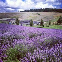 Best Time for Lupin Blooming in Iceland - Rove. Lavender Cottage, Lavender Green, Lavender Fields, Lavender Flowers, Purple Flowers, Wild Flowers, French Lavender, Lavender Plants, Lavander