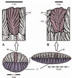 Fractofusus structure