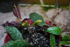 aeschynanthus marmoratus - Cerca con Google