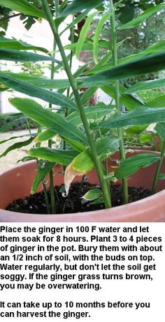 How to grow Ginger from store bought