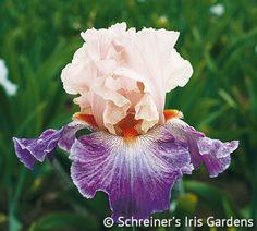 Damsel In A Dress | Tall Bearded Iris