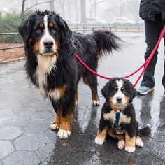 "The Dogist (@thedogist) on Instagram: ""Wally & ""Doesn't have a name yet."", Bernese Mountain Dogs (4 y/o & 9 w/o), Central Park, New York,…"""