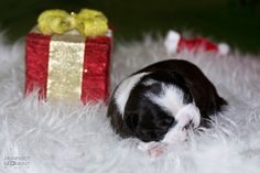 Christmas Pictures of a Boston Terrier Puppy from Hungary - Photo 4
