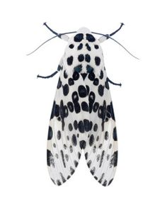 toddjdreyer:  Hypercompe scribonia / Giant Leopard Moth (8146) might of been the best moth of last night.