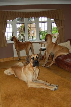 Trio of Matching Danes...I love my Dane/Lab mix.  These would be good friends for him.
