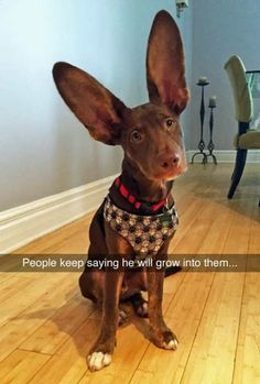 Make one special photo charms for your pets, 100% compatible with your Pandora bracelets.  He's got at least 12-14 years left to grow into them. #ears #dog #funny