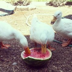 Watermelon - a great way to cool down your back yard chickens (and ducks!) on a hot day!