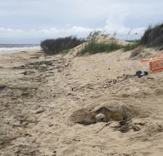 Nesting Sea Turtles are such special visitors of Bald Head Island. Forest Habitat, Bald Head Island, Bald Heads, Sea Turtles, Wildlife Photography, Habitats, Tours, Beach, Nature