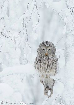 Ural Owl  Finland