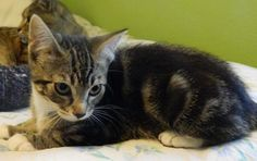 ***BABY ALERT*** 8/5/15 - Meet Queenie, a Petfinder Adoptable Tabby Kitten Looking For A Loving Forever Home | Vancouver, WA | Petfinder.com is the world's largest database of adoptable pets and pet care information....