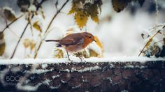 No.333 - Forager - Pinned by Mak Khalaf Number 333 of my 365 photo challenge - A cross-processed and split-toned image of a Robin looking for food in freshly fallen snow. It would appear Winter is here! So I know this is a common bird but I have never photographed a bird for the challenge. Also I am borrowing a friends 400mm lens and 1.4x teleconverter for a sporting engagement I have to photograph and I need to get some practice with the behemoth before the big day. I took this on my 70D…