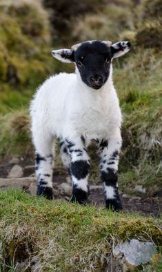 Maybe I'll get a lamb with coloring like this so I can have a black sheep but still dye the wool.Maybe I'll get a lamb with coloring like this so I can have a black sheep but still dye the wool. Cute Baby Animals, Animals And Pets, Funny Animals, Farm Animals, Small Animals, Animals Images, Beautiful Creatures, Animals Beautiful, Sheep And Lamb