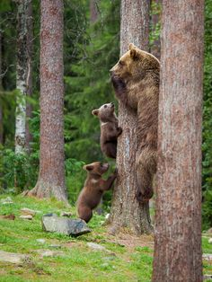 Hurry Hurry - Mother bear and cub's climbed to tree extremely fast when big male bear arrived. Large Animals, Animals And Pets, Baby Animals, Cute Animals, Beautiful Creatures, Animals Beautiful, Fierce Lion, Mother Bears, Animais