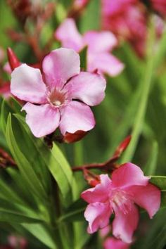 Calypso Pink oleander is an easy-to-grow tropical shrub. l