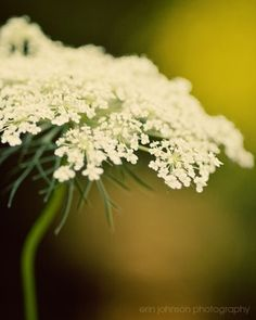 Shoply.com -Queen Anne's Lace Fine Art Photography Print 8x10. Only $20.00