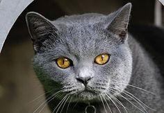 Il gatto certosino è una delle razze feline più antiche, tra le più comuni fra i gatti domestici. http://www.arturotv.tv/gatti/certosino-gatto-razza