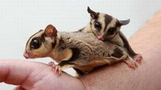 Sugar gliders are a popular exotic pet due in part to their small size and cute, yet unusual, appearance.  tag: are sugar gliders good family pets, are sugar gliders good house pets, are sugar gliders good pets for college students, are sugar gliders good pets reddit, are sugar gliders good pets to have, are sugar gliders good pets yahoo why are sugar gliders good pets