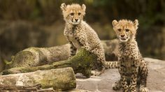 Cheetah Animals at Busch Gardens Florida Hotels, Tampa Florida, Busch Gardens Tampa Bay, Cheetah Animal, Baby Boom, Things To Do, Animals, Meet, Cheetah