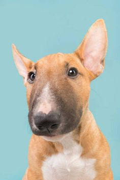 Uplifting So You Want A American Pit Bull Terrier Ideas. Fabulous So You Want A American Pit Bull Terrier Ideas. Mini Bull Terriers, Chien Bull Terrier, Miniature Bull Terrier, English Bull Terriers, Pitbull Terrier, I Love Dogs, Cute Dogs, Pit Bull, Tier Fotos