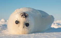 A baby seal rolls in the snow in the Gulf of St Lawrence, Canada. The harp seals, aged between two and ten-days-old, roll around in the snow and explore their new surroundings.   photo from #paulwhybrow Paul Whybrow at paulwhybrowblog.wordpress.com