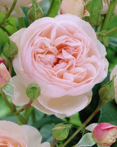~Rose 'Heritage' • Rosa 'Heritage' • Plants & Flowers • 99Roots.com