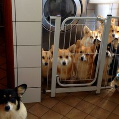 A Corgi with a jury of his peers... Did you steal that bone? Guilty!