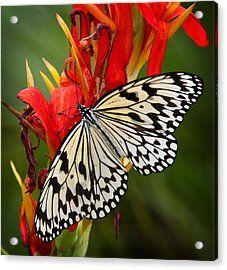 The Paper Kite Butterfly  Acrylic Print by Saija  Lehtonen