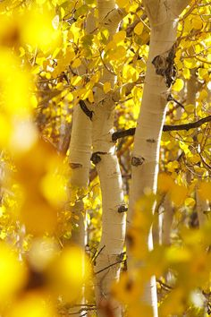 Yellow Aspen Trees Photograph by Quincy Dein - Printscapes - Yellow Aspen Trees Fine Art Prints and Posters for Sale Aspen Trees, Birch Trees, All Nature, Shades Of Yellow, Mellow Yellow, Belle Photo, Beautiful World, Mother Nature, Fine Art America