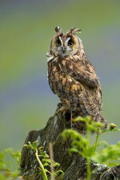 Long Eared Owl (Asio otus) found in the Northern Hemisphere, North America, Europe, Asia