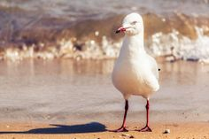 Seagull - Magnetic Island, Townsville, QLD, Australia