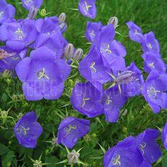 image de Campanula carpatica Blue Clips Blue Garden, Flower Beds, Blue Flowers, Garden Plants, Flower Power, Planting Flowers, Bleu Violet, Bed Ideas, Dimensions