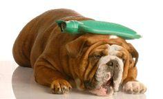Canine Pancreatitis: Symptoms of Pancreatitis in Dogs Tension Headache, Headache Relief, Décodage Biologique, Pancreatitis In Dogs, Migraine Triggers, Migraine Headache, Essential Oils For Headaches, Natural Headache Remedies, Stomach Problems