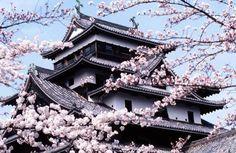 Un cerisier en fleurs devant le château de Matsue au Japon