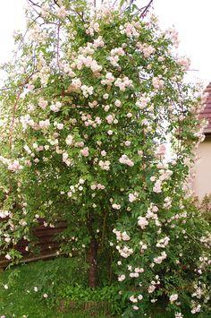 Le rosier liane en entier