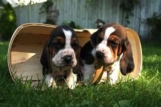 Gimme a basset hound puppy or two or ten and I will never ask for anything. Ever. Again.
