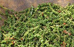 Giá cà phê hôm nay tại Tây Nguyên báo đi lên theo xu hướng giá cà phê robusta thế giới, tăng tiếp 100 – 300 đồng/kg tại tất cả các điểm được khảo sát.