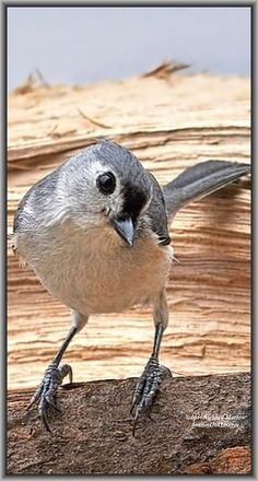 Tufted Titmouse - PRETTY BIRDIE   #bird #by richard marlow on 500px.com