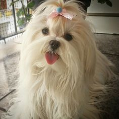 Beautiful Maltese #maltese