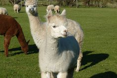 The Alpacas at Chalkshire Alpacas, 86 Chalkshire Rd, Butlers Cross, Bucks We sell the yarn from the herd and dye some of it in yummy colours. Alpacas, Peru, Colours, Animals, Turkey, Animaux, Animal, Animales, Animais