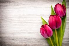 Tulip On Wooden Background (editar agora): foto stock 181121798 New Nature Wallpaper, Flower Background Wallpaper, Flower Phone Wallpaper, Background Pictures, Flower Backgrounds, Flower Wallpaper, Wallpaper Backgrounds, Beautiful Flowers Wallpapers, Beautiful Rose Flowers