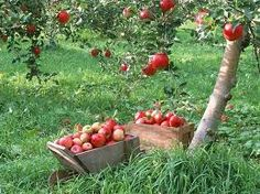 #apple_tree The source of all cider products we pay homage to the humble apple tree #ACV